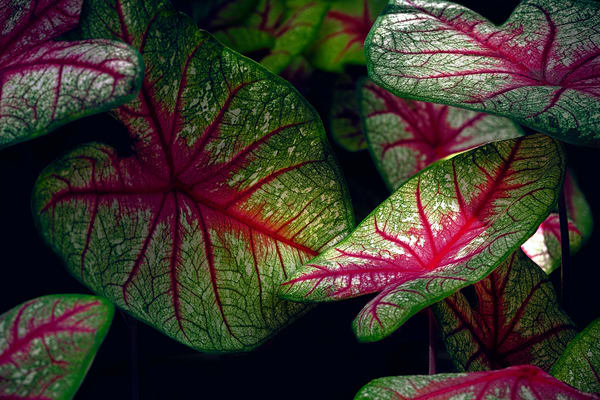 Caladium Plants, heart shaped plants, red hearts,