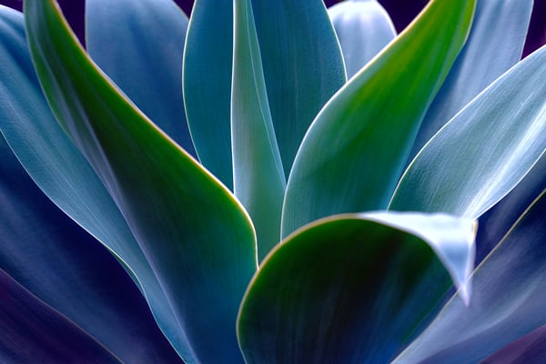 agave cactus, cactus and succulents,
