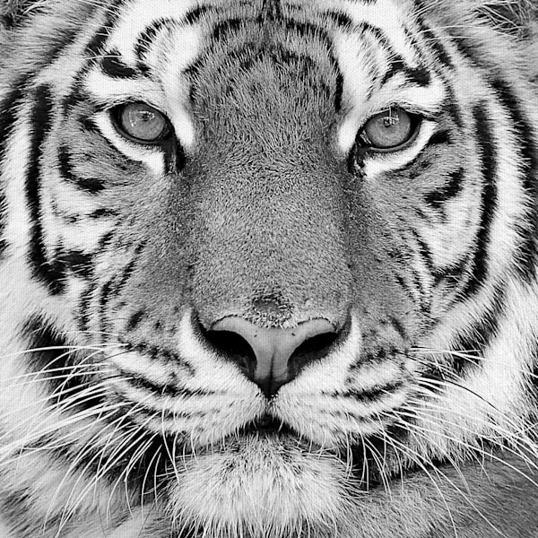 Tiger by PhotoINC Studio Wrapped Canvas Photo Art Print