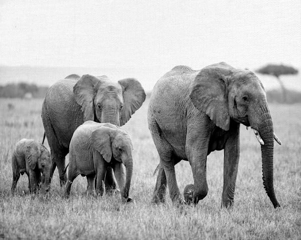 Elephant  Family by artist Belle Maison Wrapped Canvas Photo Art Print