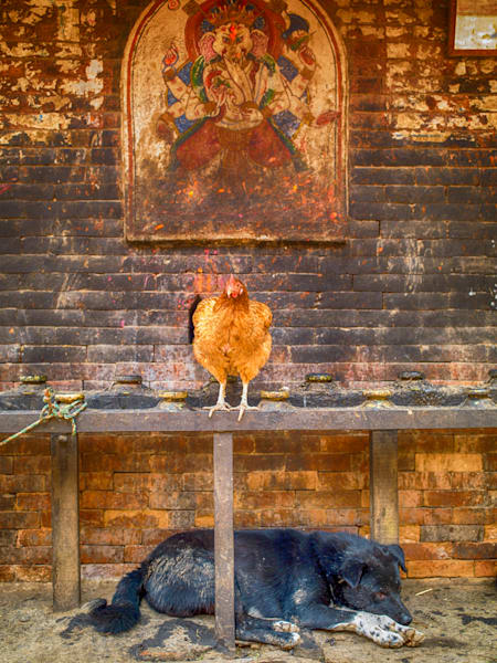Ganesh The Hen and Sleeping Dog | Urban Art Photography Prin