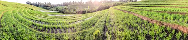 Bali Rice Field | Tropical Landscape Photography Print
