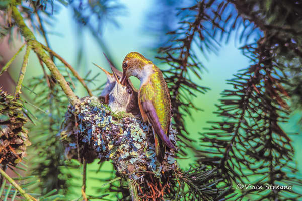 Fine art print of female Rufous hummingbird feeding young