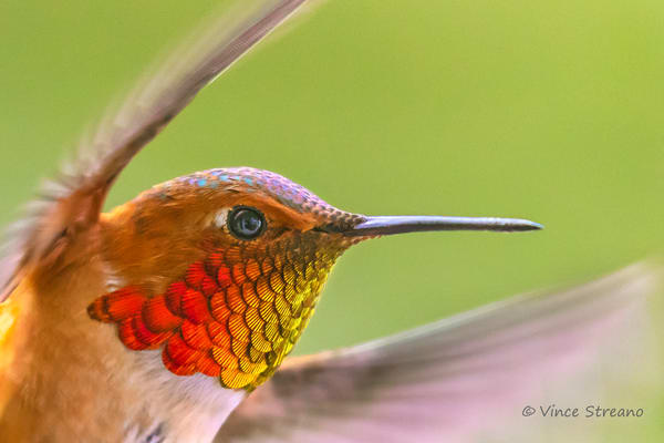 Fine art print of a male Rufous hummingbird.