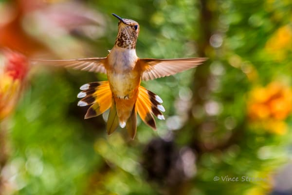 Fine art prints of female Rufous hummingbird.
