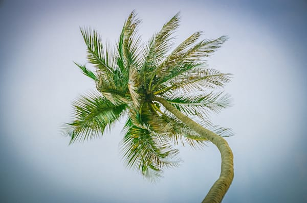 Barbados Palm | Nature Art Photography