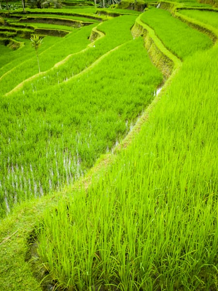 Bali Rice Terraces II | Tropical Landscape Photography Print