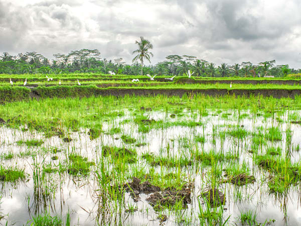Bali Rice Field Cranes | Tropical Landscape Photography Print