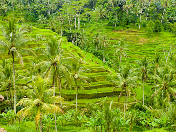 Bali Tabanan Rice Terraces | Tropical Landscape Photography Print
