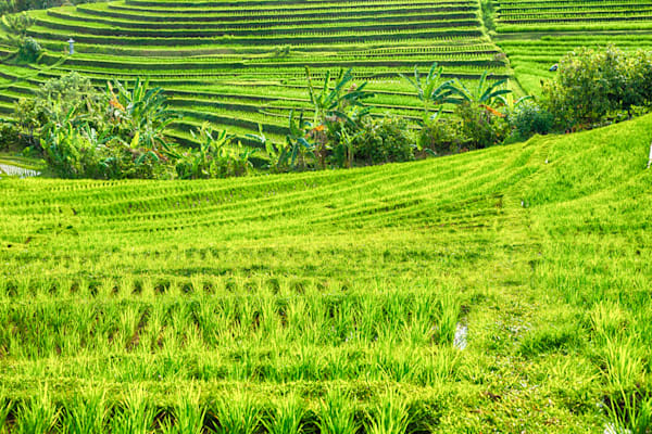 Tabanan Rice Field, Bali II | Tropical Landscape Photography Print