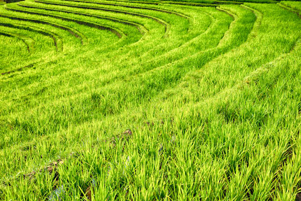 Tabanan Rice Field, Bali | Tropical Landscape Photography Print