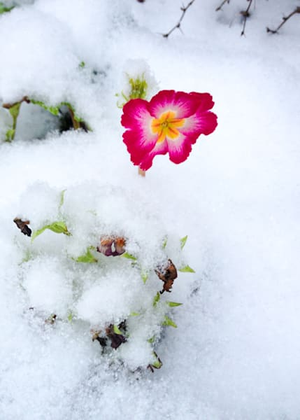 Winter Bloom Photography Print   Gifts For Art Lovers