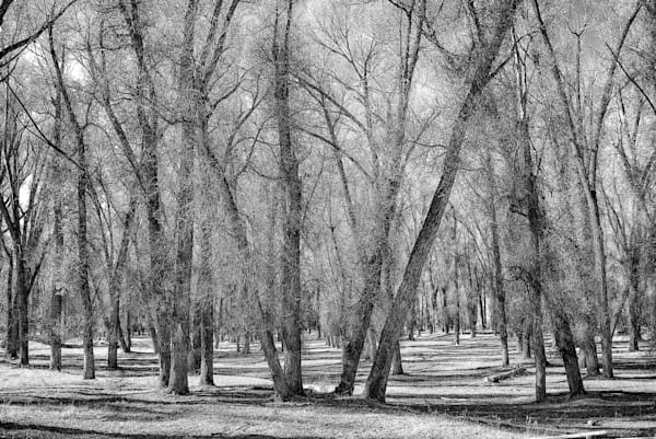Wyoming trees   Black and White Landscape Photography