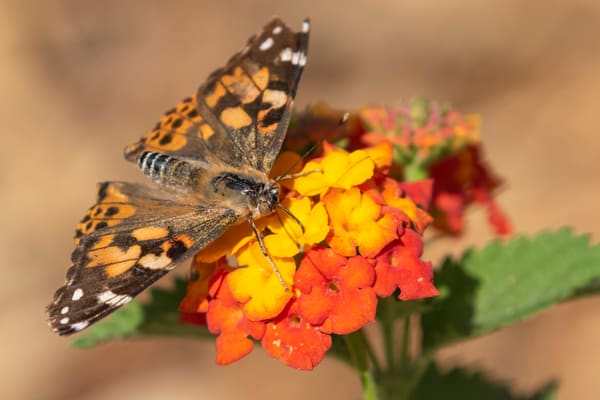 Monarch on Flower Spring time in South Texas photographs – Fine Art Prints