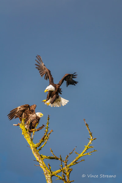 Fine art prints of two bald eagles