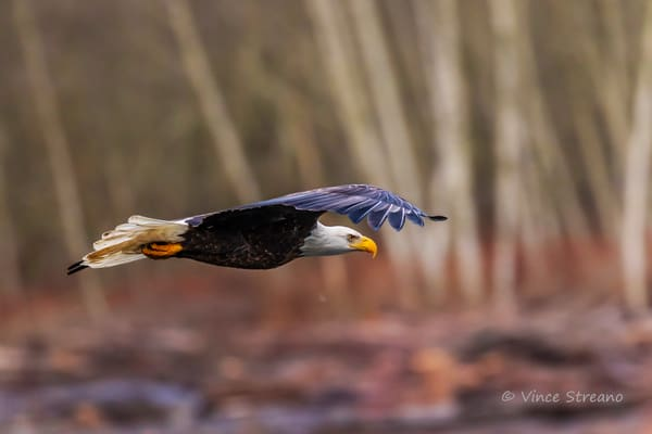 Fine art prints of a bald eagle flying over Nooksack River