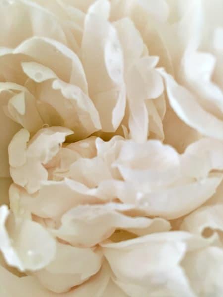White Peony: Ruffles