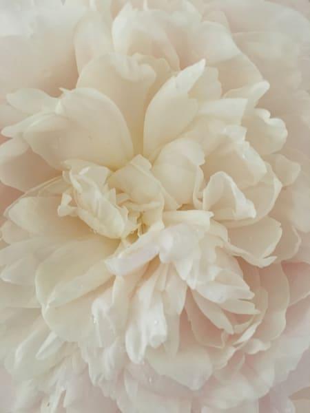 Blushing Peony Ii Art | Studio Artistica