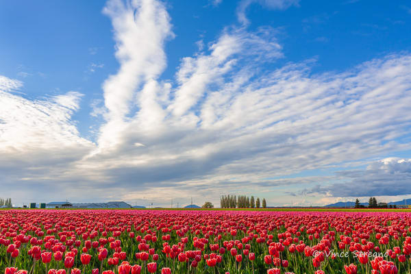 Fine art prints of the tulip fields in the Skagit Valley, WA.