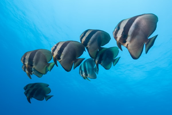 Longfin Spadefish School, Solomon Islands