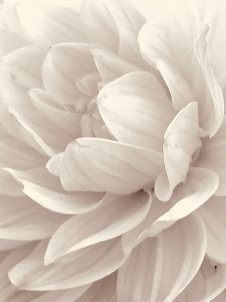 White Peony:  Pure Petals
