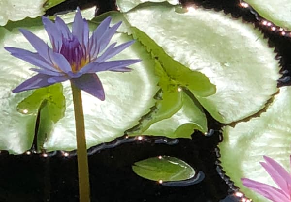Water Lilies:  Gentle Flower Art | Studio Artistica