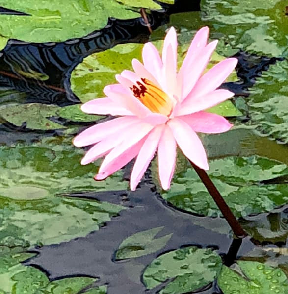 Water Lilies:  Hello Sunshine