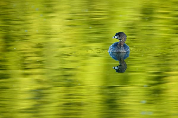 Swimming in Reflections - Pied-billed Grebe
