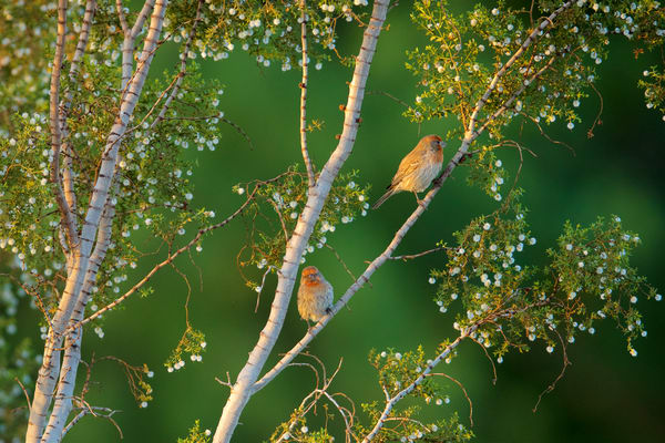 House Finches in Morning Light