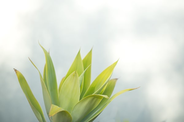 Agave 2 Photography Art | allysonmagda