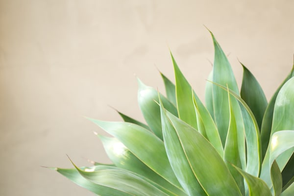 Agave Photography Art | allysonmagda