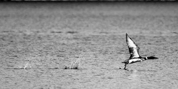 Loons Taking Flight B&W