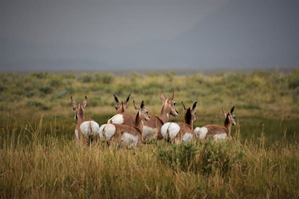 Photograph of doe and fawn pronghorn antelope for sale as fine art