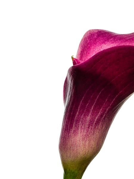 Calla Lily 3 Photography Art | Dana Hursey Photography Inc