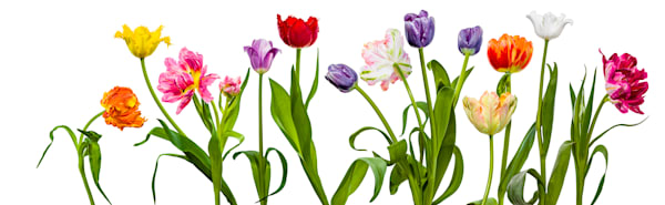 14 Tulips Photography Art | Dana Hursey Photography Inc