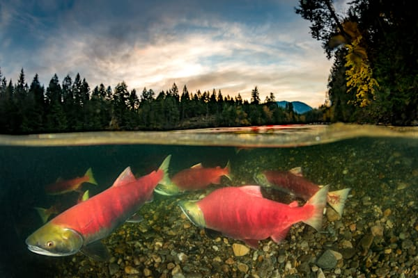 Adams River Sockeye Sunrise