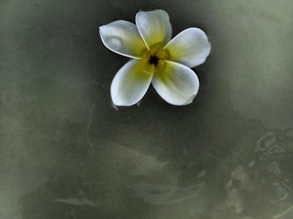 Plumeria #1 Art | Ray Masters Productions