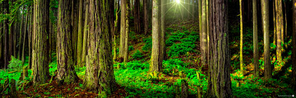 Dawn in the Redwoods