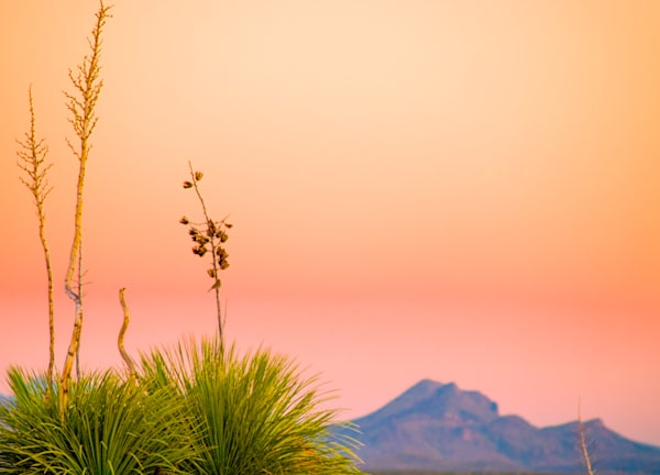 Southwest Yucca | Nature Art Photography
