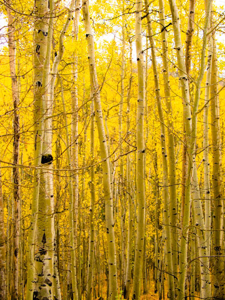 Golden Aspens In Ouray | Nature Art Photography
