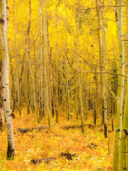 Golden Aspens In Ouray II | Nature Art Photography