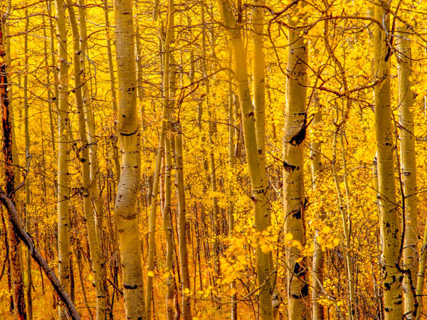 Golden Aspens In Ouray III | Nature Art Photography