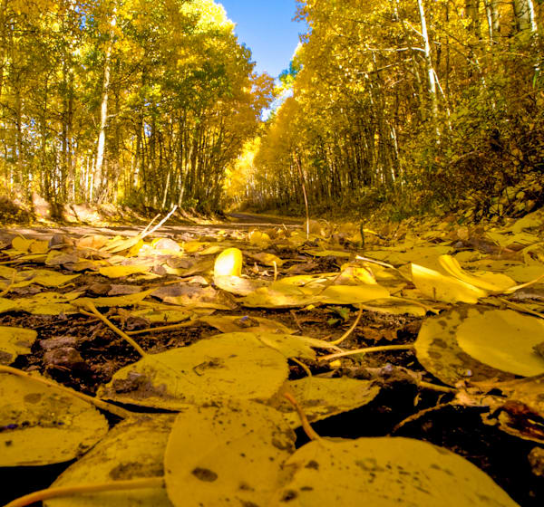 Aspen Leafy Path | Nature Art Photography