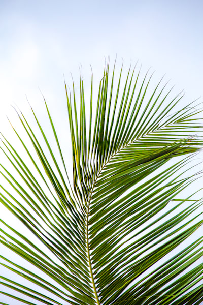 Sri Lanka Palm II | Nature Art Photography