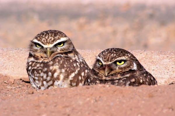 Burrowing Owls print, Jim Parkin Fine Art Photography