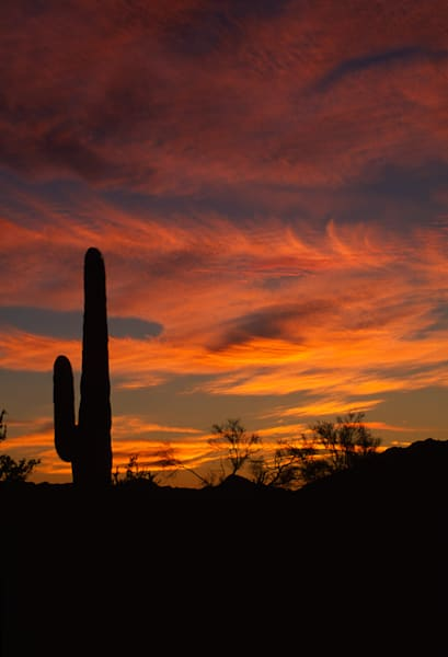 A saguaro cactus is silhouetted in front of a dramatic sunset in the Arizona desert.