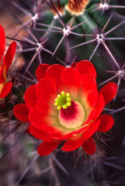 Claret Cup Cactus Blossom print, Jim Parkin Fine Art Photography