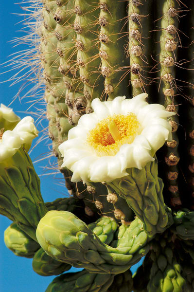 Saguaro Blossoms 3 print, Jim Parkin Fine Art Photography