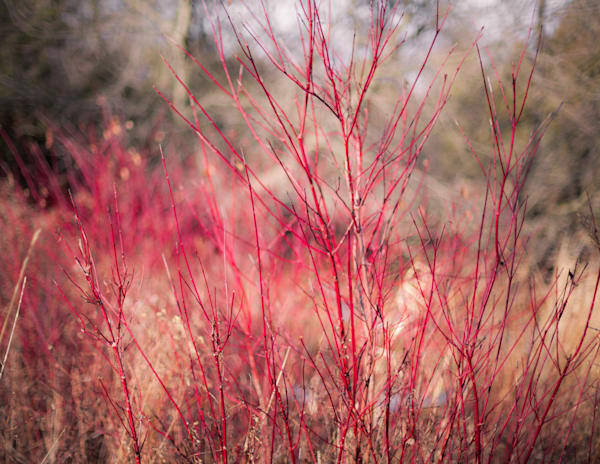 Fall Dogwoods  Photography Art | Sage & Balm Photography