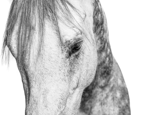 Study in Grey 22 - Horse Face - for sale as fine art
